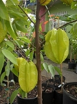 Carambola/Star Fruit: Fwang Tung - 3 Gallon - GRAFTED