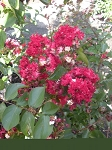Crape Myrtle Dynamite Red bush