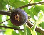Black Mission Fig - 3 Gallon