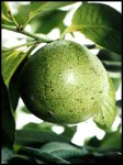 Black Sapote tree - 3 Gallon - GRAFTED