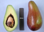 Brogdon Avocado - 3 Gallon - GRAFTED