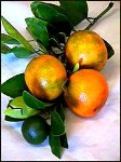 Calamondin - 3 Gallon - GRAFTED