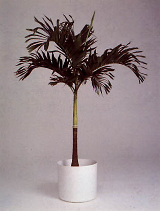 christmas palm tree 7 gallon - Christmas Palm Tree