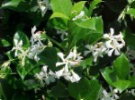Confederate Jasmine - 3 Gallon - Trellised