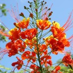 Dwarf Red Poinciana tree - 3 Gallon