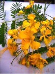 Dwarf Yellow Poinciana - 3 Gallon