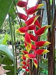 Lobster Claw Heliconia - 3 Gallon