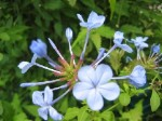 Blue Plumbago - 3 Gallon