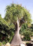 Pony Tail Tree - 3 Gallon