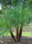 Roebellinii Palm  tree/ - Pygmy Date Palm tree -3 Gallon