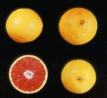 Cara Cara Red Navel Orange  tree - 7 Gallon - GRAFTED