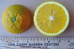 Valencia Orange - 3 Gallon - GRAFTED
