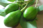 Winter Mexican Avocado - 3 Gallon - GRAFTED