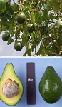 Lula Avocado tree