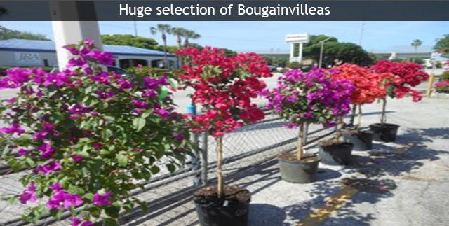 Buy Tropical Fruit Flowering Trees Exotic Plants Online