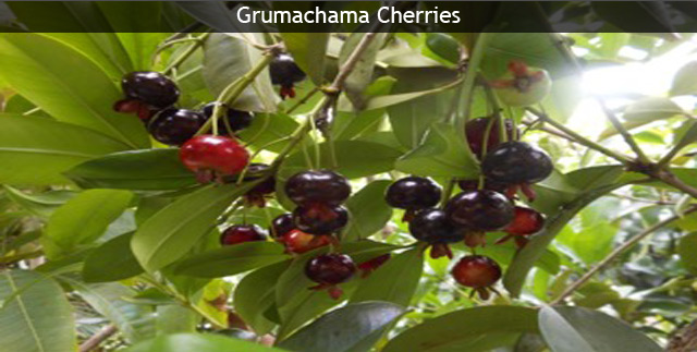 Buy Tropical Fruit Flowering Trees Exotic Plants Online