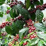 Coffee arabica bush