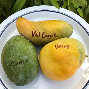 Val Carrie Mango Tree 7 gal. - Grafted