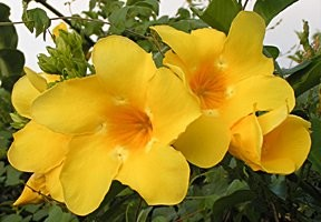 Yellow Allamanda - 3 Gallon