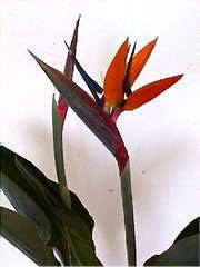 Bird of Paradise plant - 7 Gallon