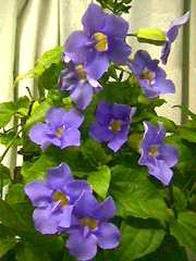 Blue Sky Vine - Trellised - 3 Gallon