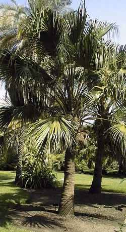 Chinese Fan Palm - 7 Gallon Pot