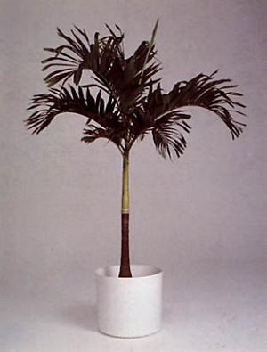 christmas palm tree 7 gallon pot - Christmas Palm Tree Pictures