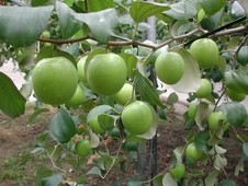 Indian Jujube GRAFTED - 3 Gallon