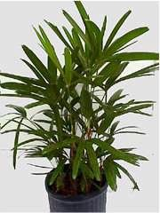 Lady Palm - 7 Gallon