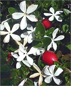 Natal Plum - 3 Gallon