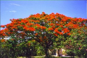 Royal Poinciana tree- 3 Gallon