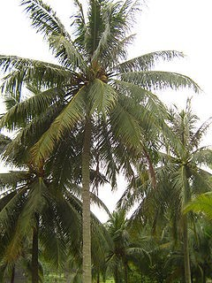 Coconut Palm tree - 15 Gallon Pot