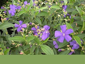 Tibouchina (Bush Form) - 3 Gallon