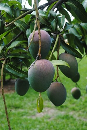 Kent Mango - 3 Gallon - GRAFTED