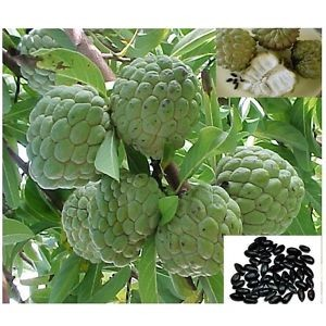 Sugar Apple Anona Squamosa 3 gal pot