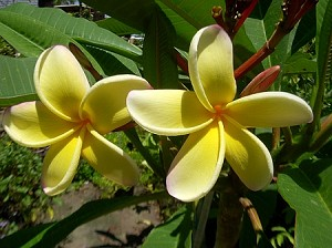 Frangi Pani Plumeria tree 3 gallon